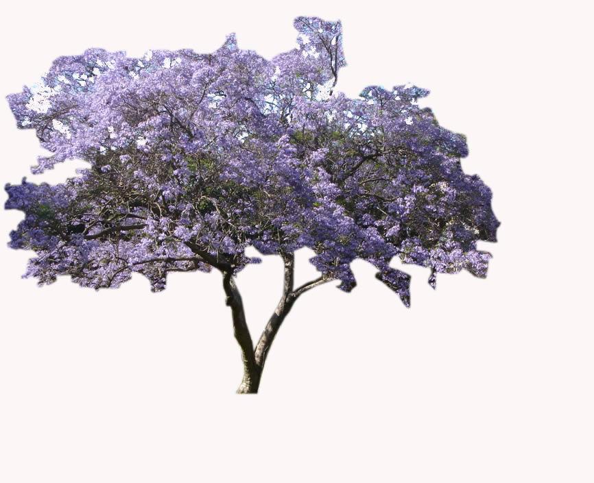 Jacaranda Tree Bibliocad