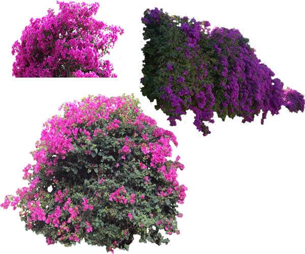 Arbustos De Bugambilias En Bmp Descargar Cad Gratis 337 Mb