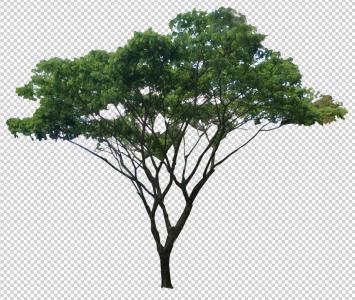 Tree- Saman