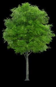 Tree - PNG
